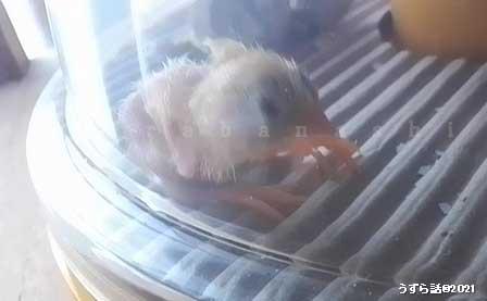 ヒメウズラの孵化