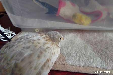 ヒメウズラのヒヨコと成鳥