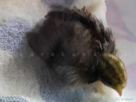 ゴールデンパールヒメウズラのヒヨコ