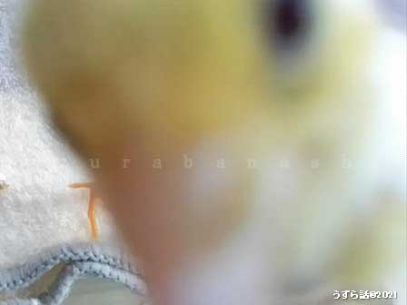 ホワイトヒメウズラのヒヨコ
