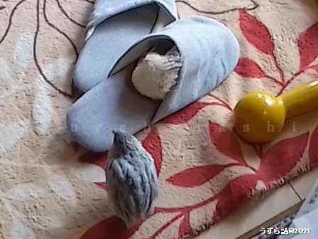 クリーム色とシルバーのヒメウズラ