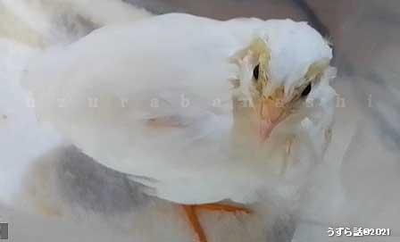 ホワイトヒメウズラの中雛