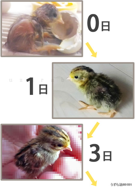 ゴールデンパールヒメウズラ♂の体色変化