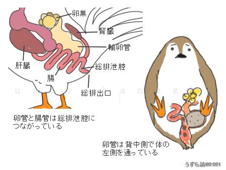 鳥の卵管と腸管の位置