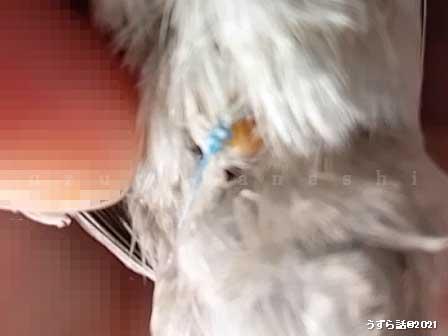 シルバーヒメウズラのお尻の縫合糸