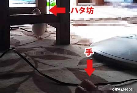 ホワイトヒメウズラ