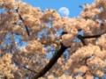 『京都新聞写真コンテスト 桜の海からのぞく顔』