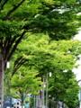 『京都新聞写真コンテスト 新緑のグラデーション。御池並木。』