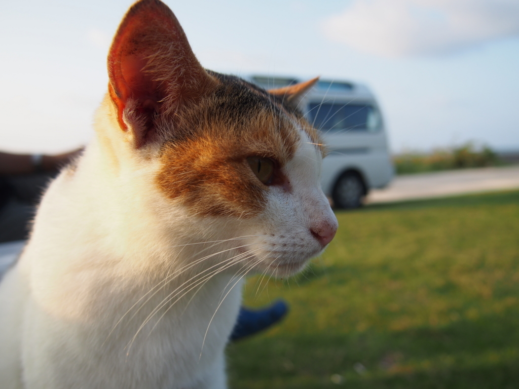 石垣島にいた猫の横顔