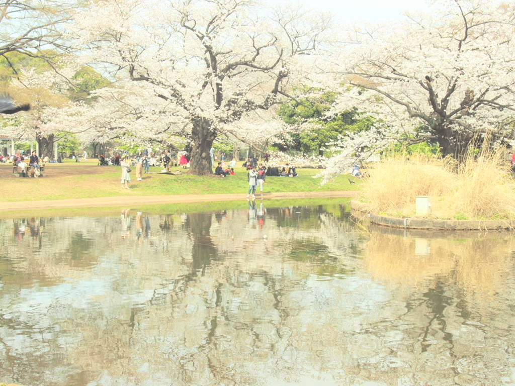 代々木公園の池に写る桜