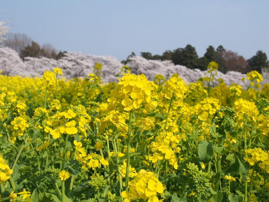 群馬県赤城南面千本桜と菜の花の写真