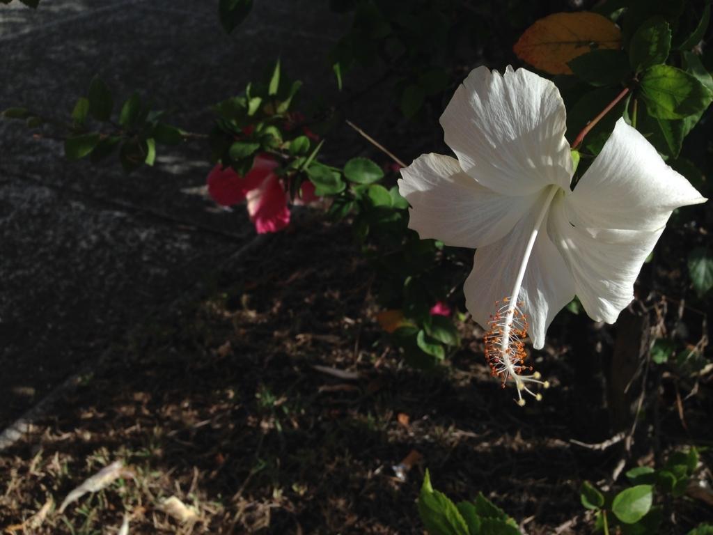ニューカレドニアに咲く白いハイビスカス