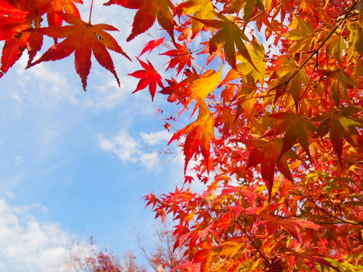 山梨県もみじ回廊の紅葉と青空