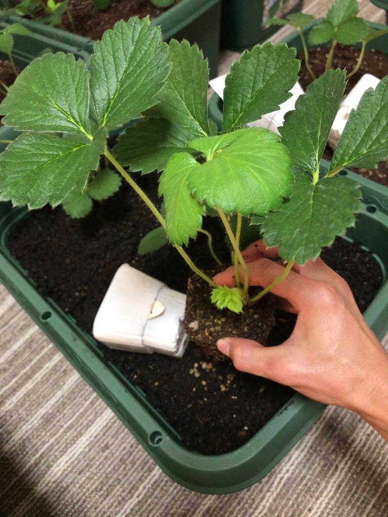 よつぼしイチゴの定植