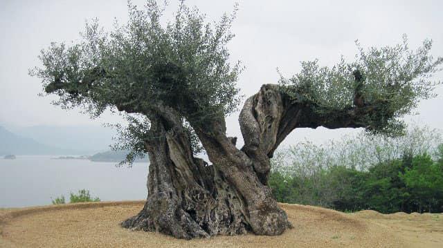 この写真は、樹齢1000年を超えると言われるオリーブの木