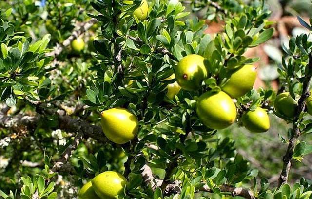 アルガンの果実が実っている写真