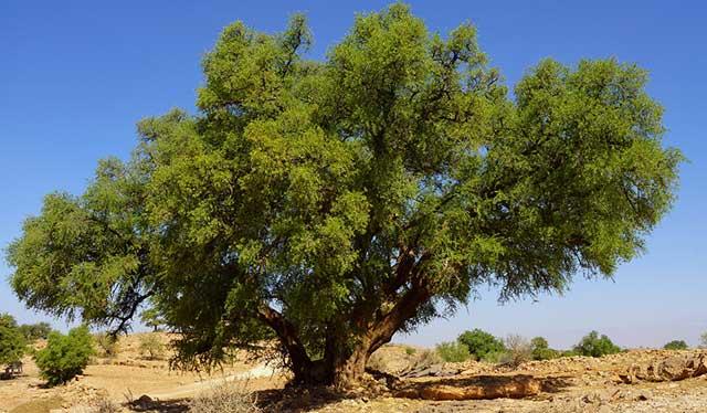 アルガンの樹木の写真