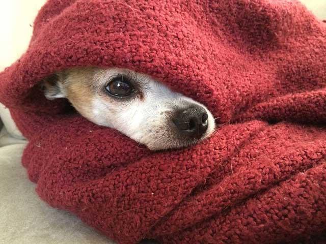 毛布にくるまっている犬の写真