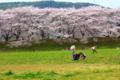 京都新聞写真コンテスト 背割堤の花見