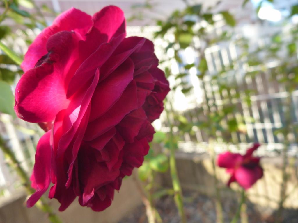 f:id:verandarosegarden:20161016093316j:plain