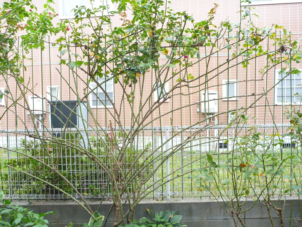 f:id:verandarosegarden:20161022121530j:plain