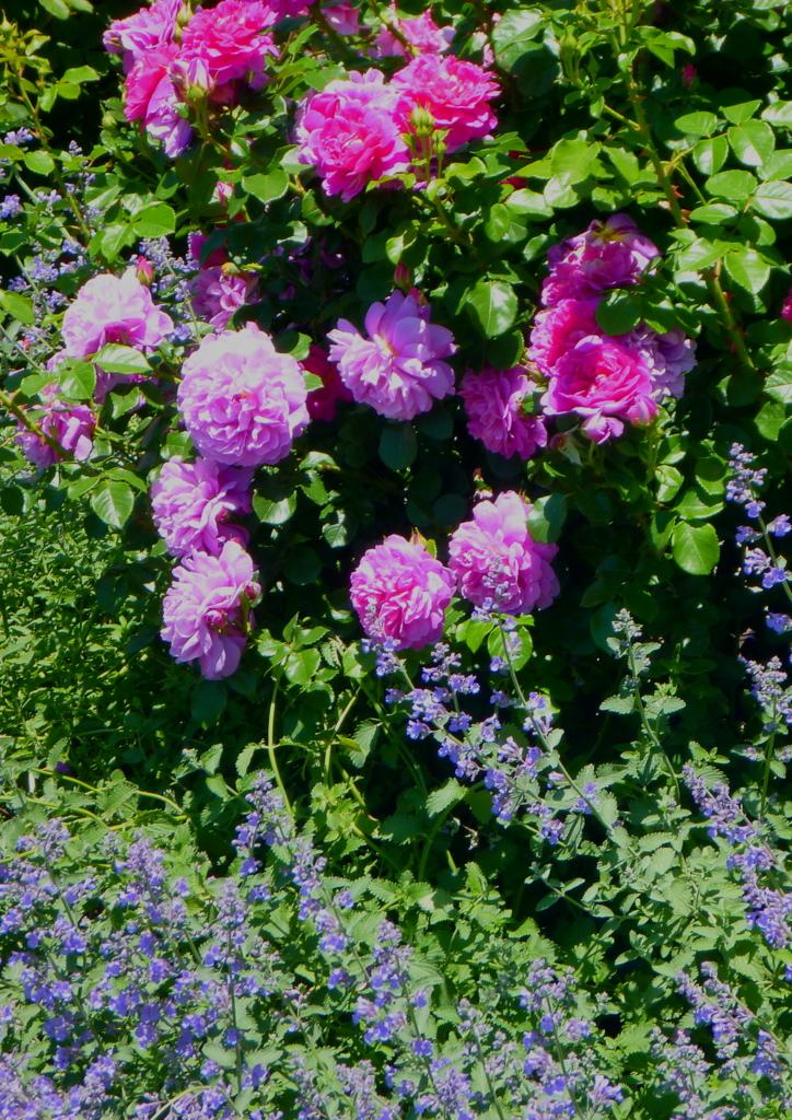 f:id:verandarosegarden:20170521195006j:plain