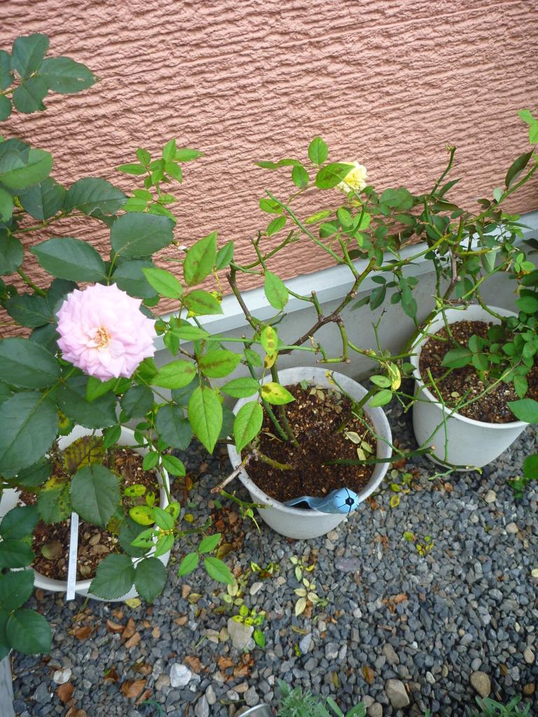 f:id:verandarosegarden:20170813150124j:plain