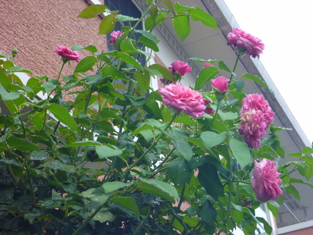 f:id:verandarosegarden:20180712070352j:plain