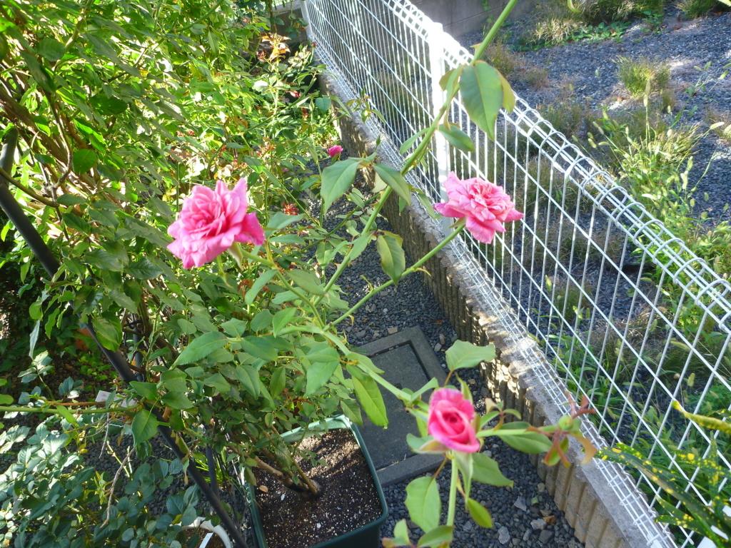 f:id:verandarosegarden:20180819091124j:plain