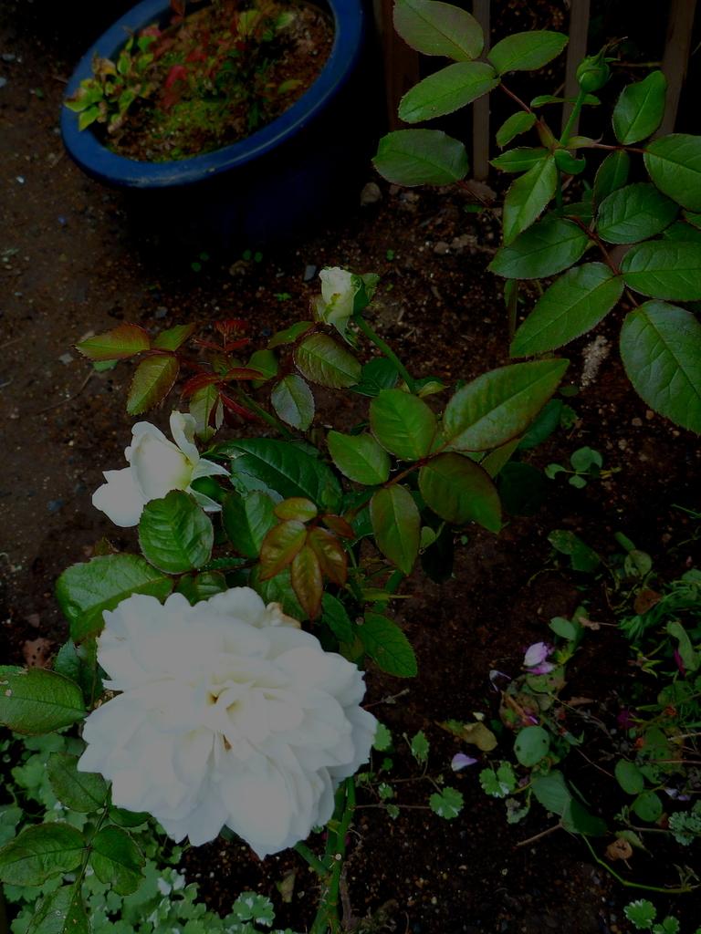 f:id:verandarosegarden:20181012210750j:plain