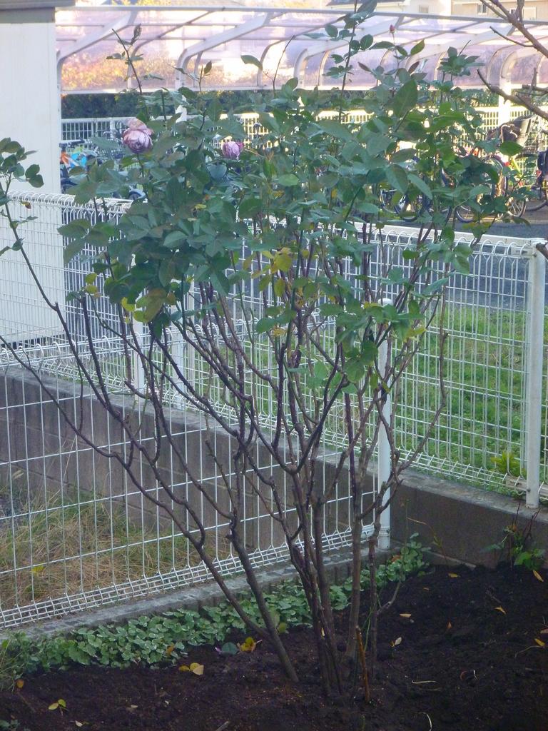 f:id:verandarosegarden:20181215203749j:plain