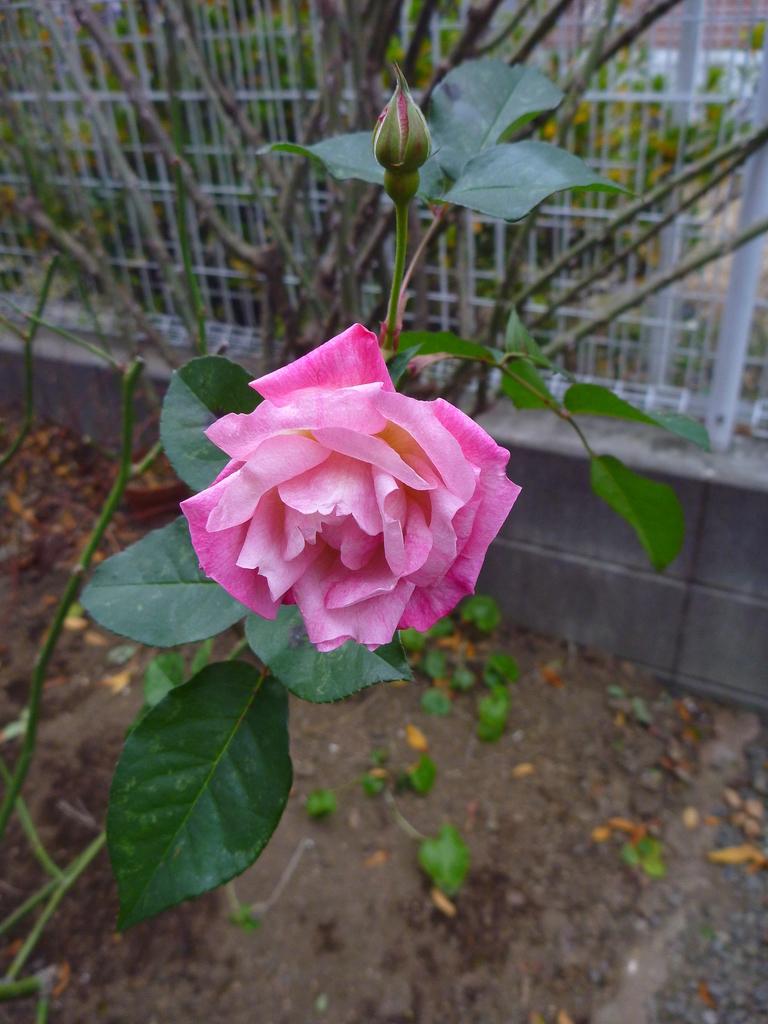 f:id:verandarosegarden:20190119174817j:plain