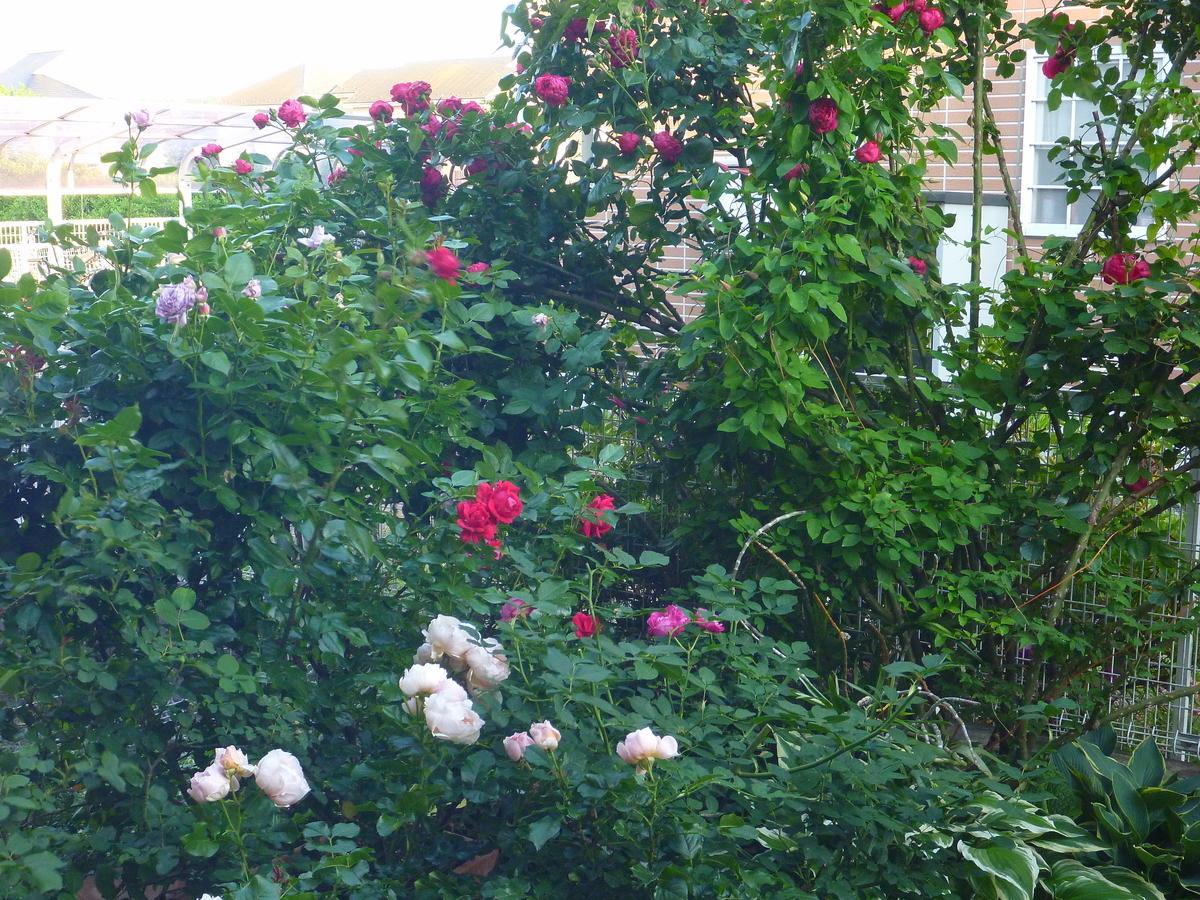f:id:verandarosegarden:20190526104523j:plain