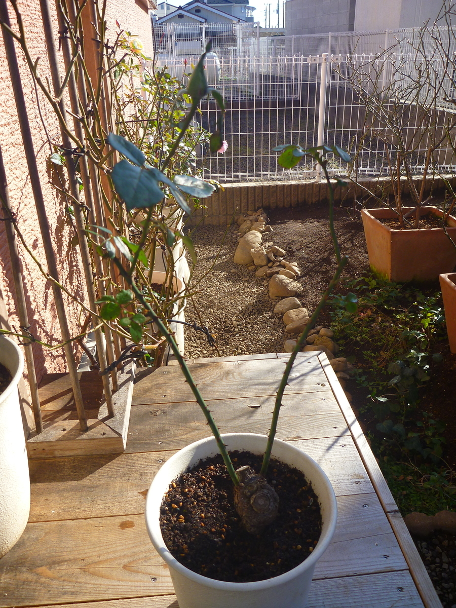 f:id:verandarosegarden:20200121094016j:plain