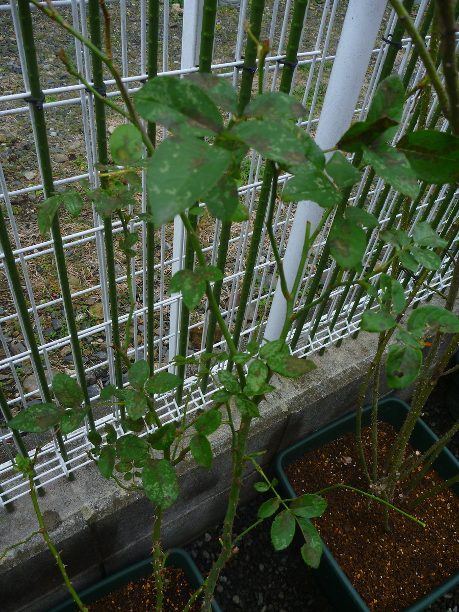 f:id:verandarosegarden:20200125173918j:plain