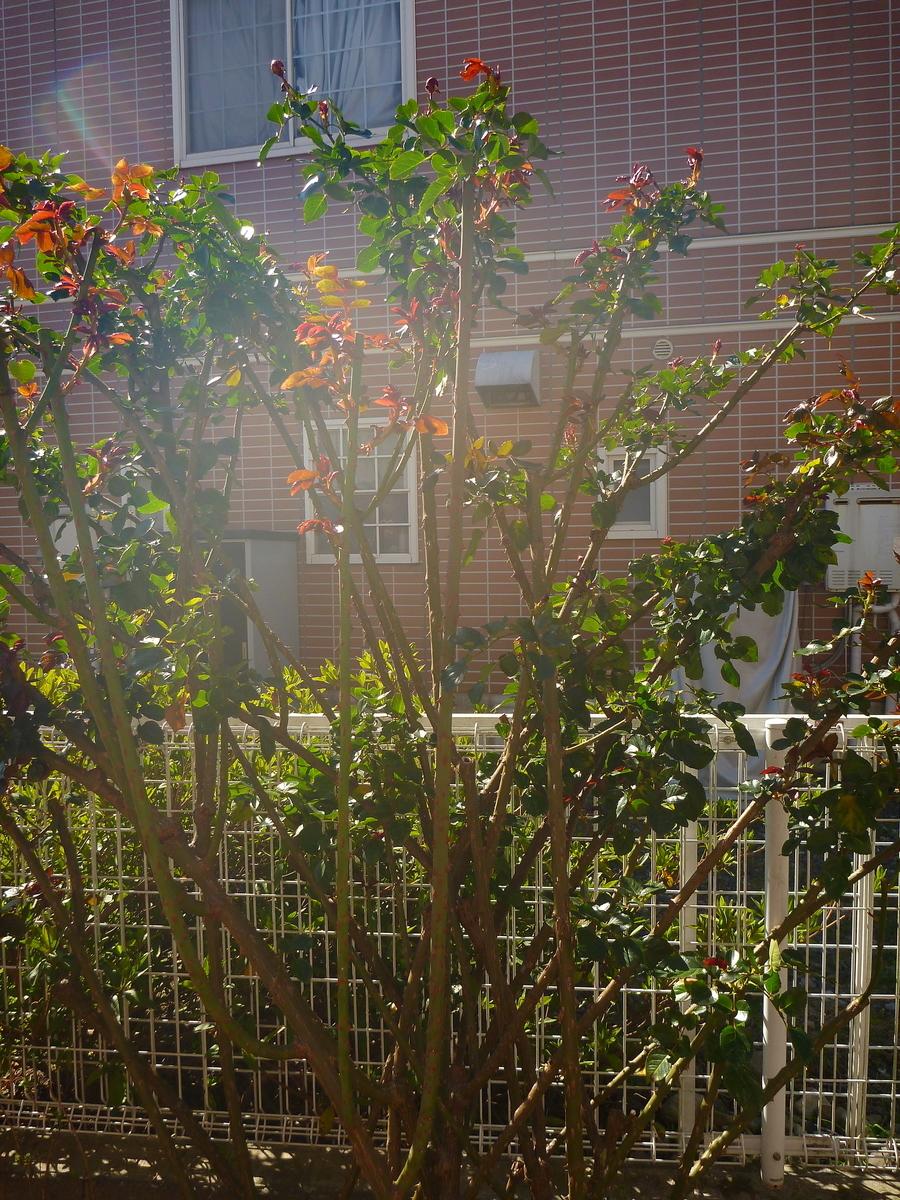 f:id:verandarosegarden:20200320113407j:plain