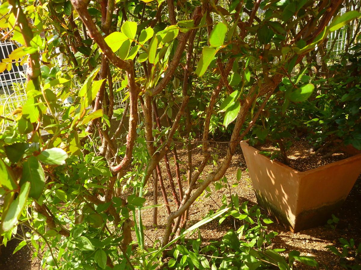 f:id:verandarosegarden:20200411160120j:plain