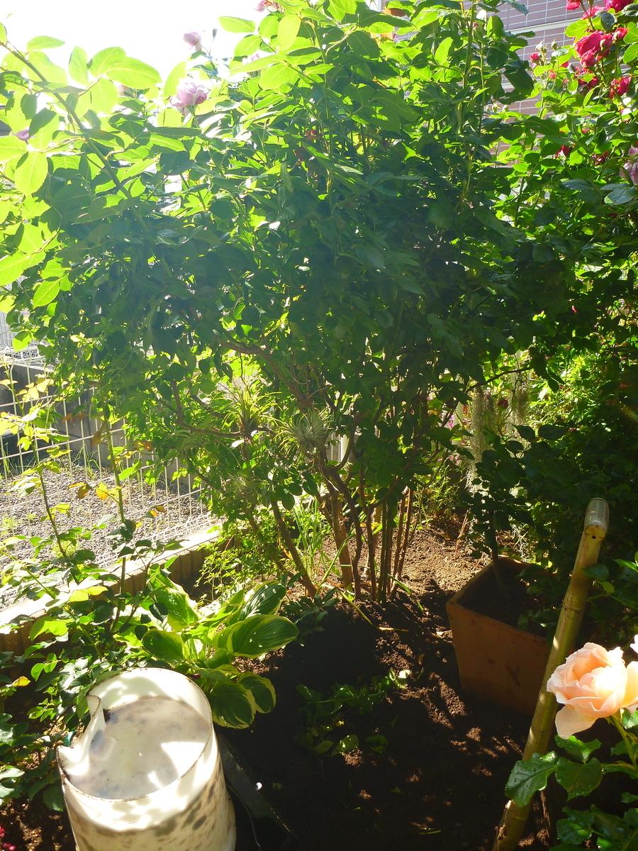 f:id:verandarosegarden:20200517164631j:plain