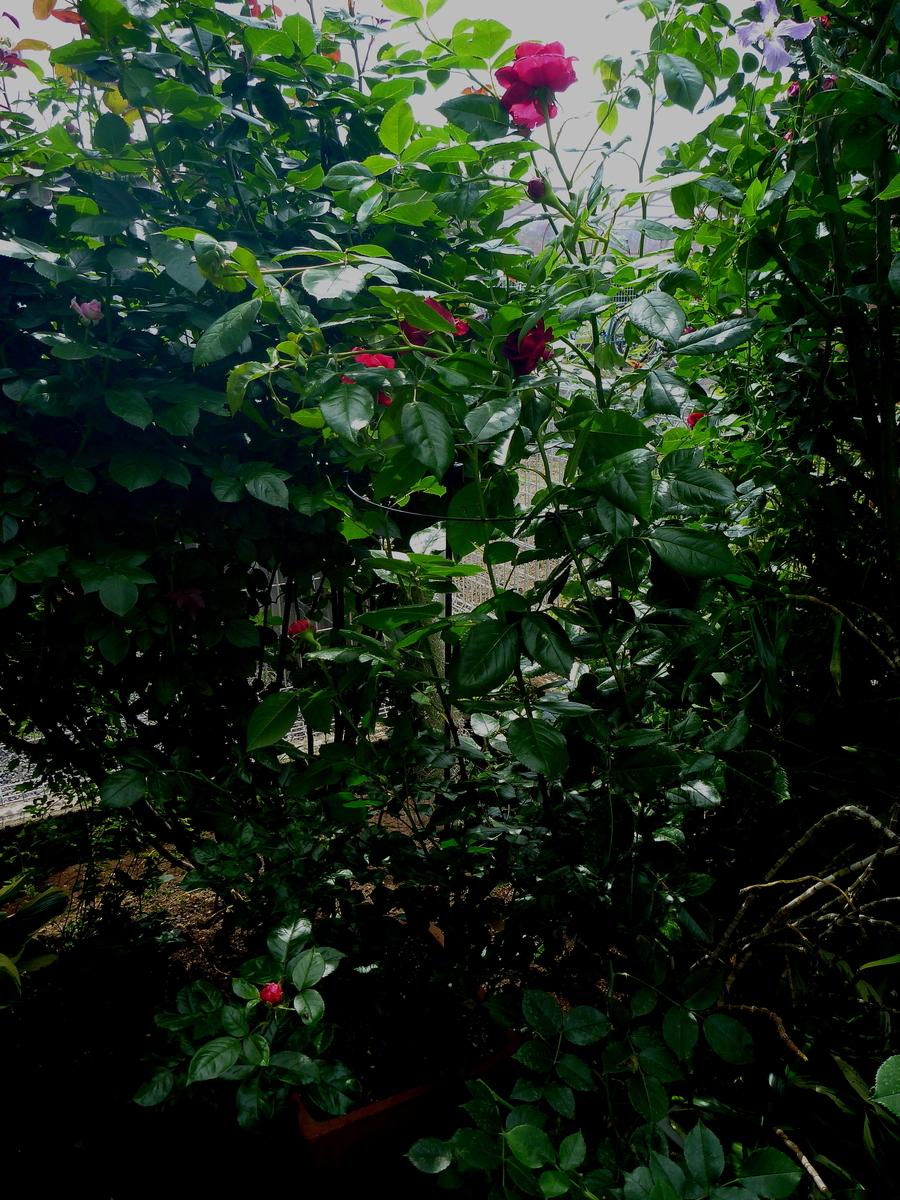 f:id:verandarosegarden:20200524115200j:plain