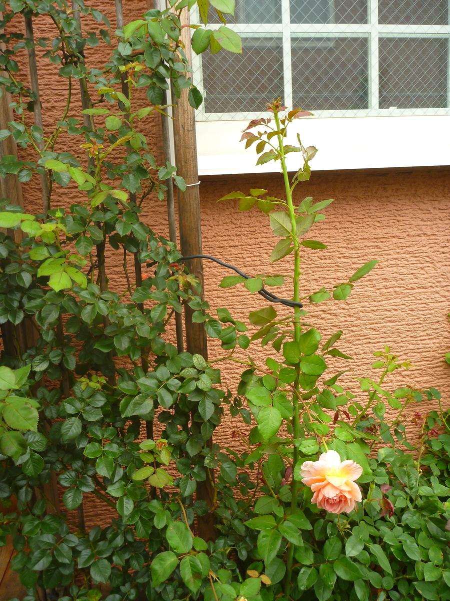 f:id:verandarosegarden:20200614111224j:plain