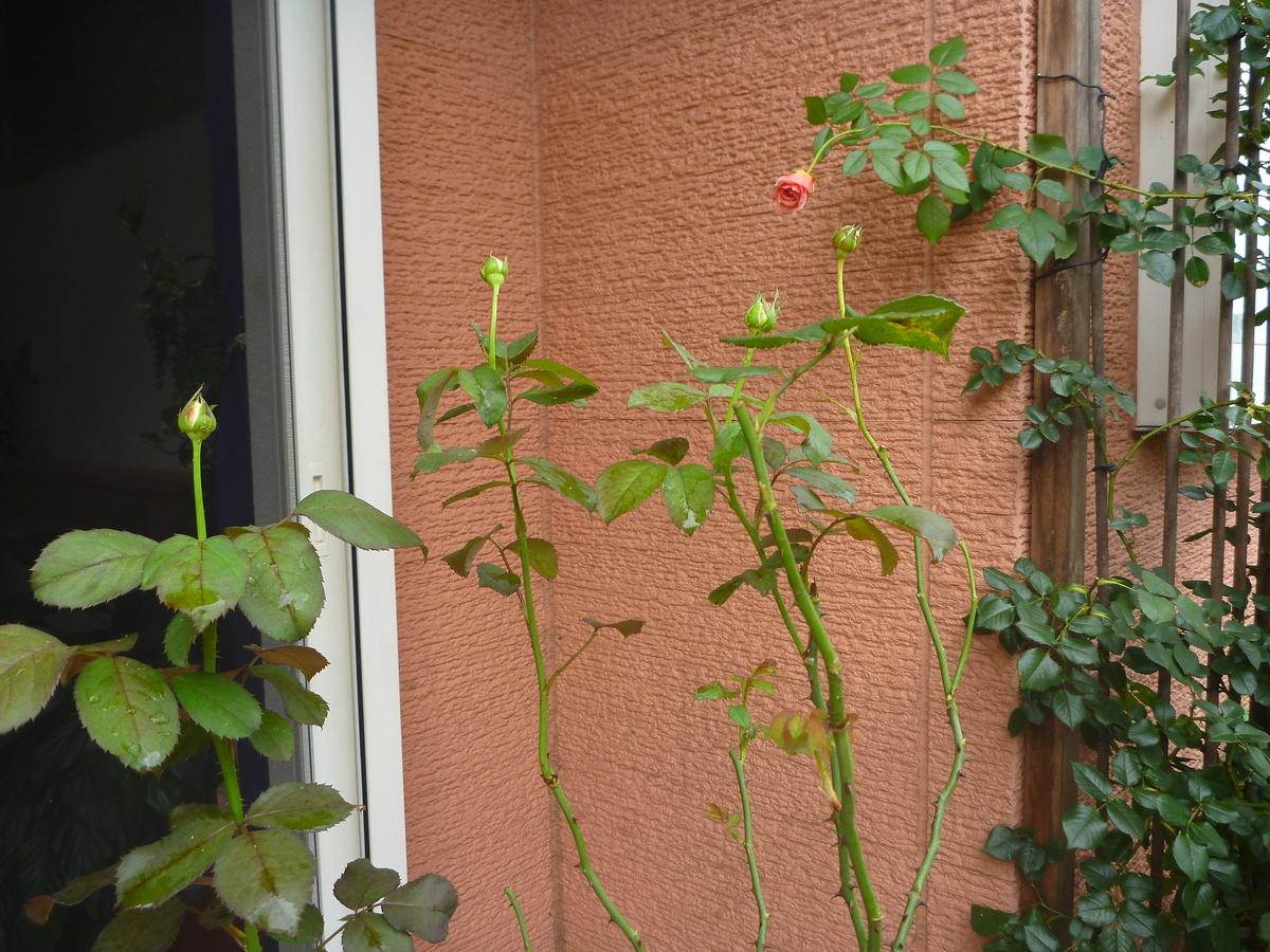 f:id:verandarosegarden:20200731195257j:plain