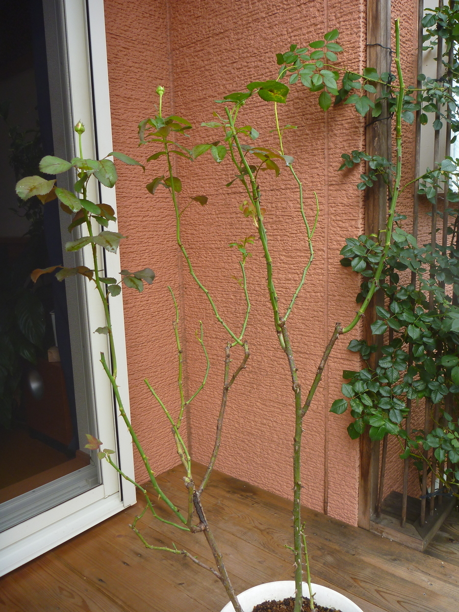 f:id:verandarosegarden:20200731195335j:plain