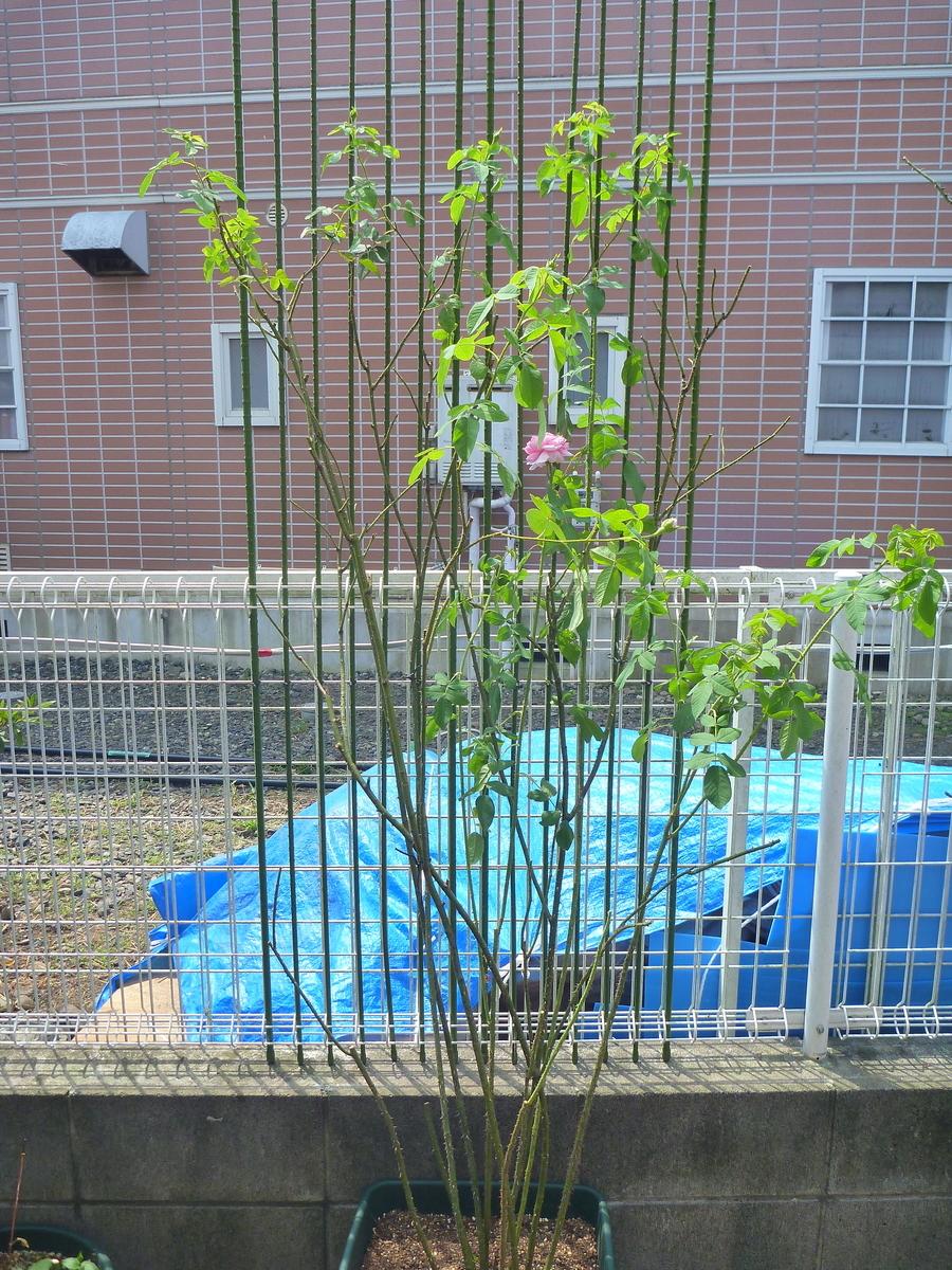 f:id:verandarosegarden:20200810134736j:plain