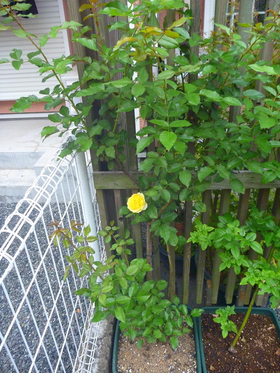 f:id:verandarosegarden:20201006064644j:plain