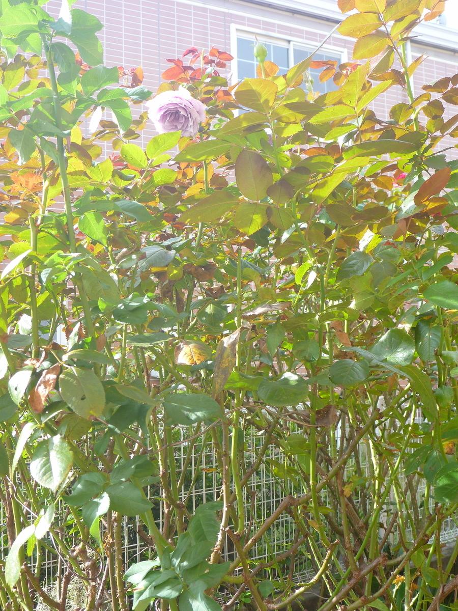 f:id:verandarosegarden:20201020111337j:plain