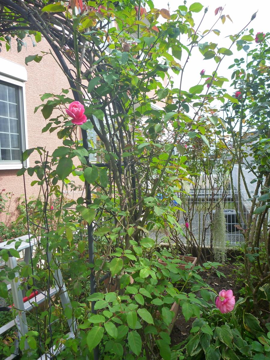 f:id:verandarosegarden:20201020131539j:plain