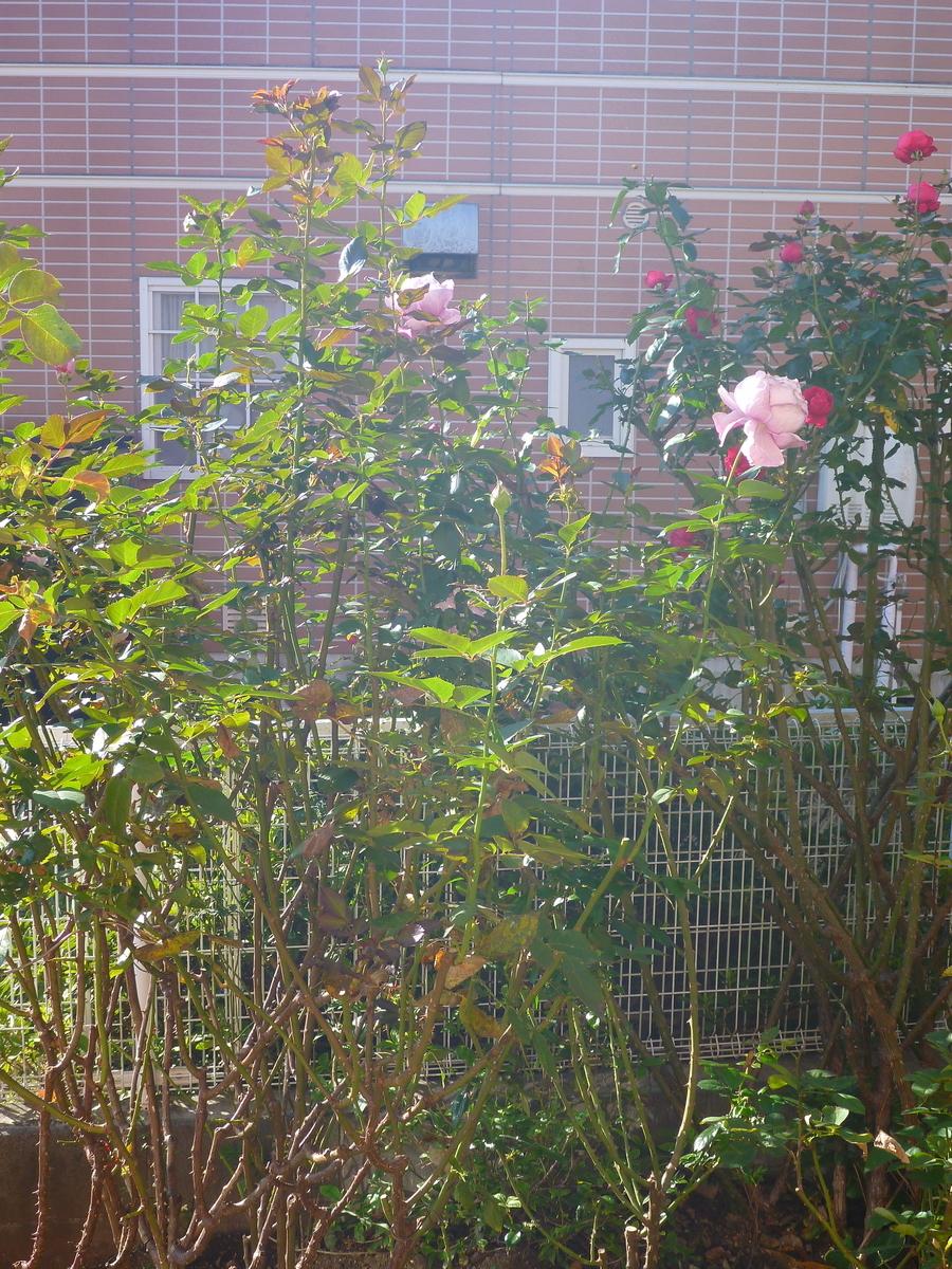 f:id:verandarosegarden:20201111084117j:plain
