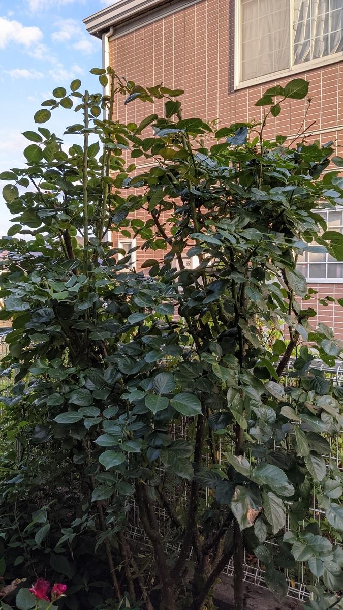 f:id:verandarosegarden:20210619085901j:plain