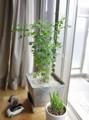 シマトネリコ植え替え