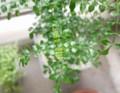 シマトネリコ 新芽